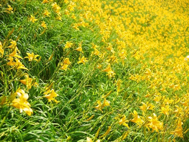 美的如詩如畫   滿滿的黃金花田   金針花   Huatan   Changhua   RoundtripJp