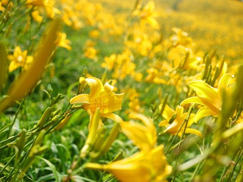 向陽的金針花   盛開   正值金針花海滿開季節   Huatan   Changhua   RoundtripJp   巡日旅行攝