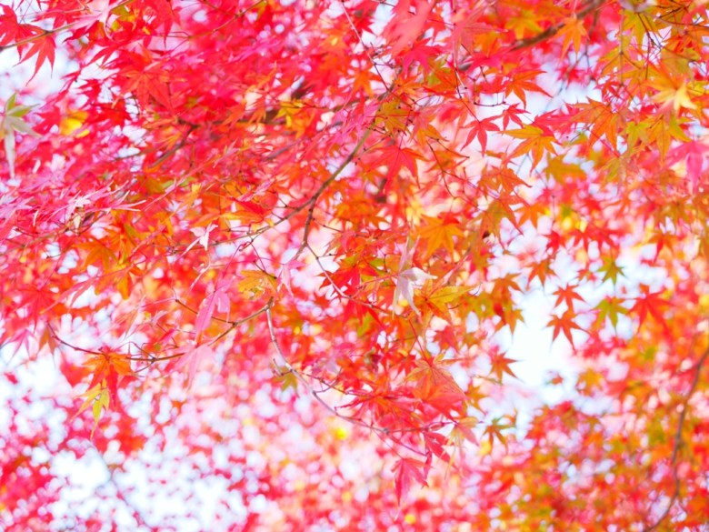 秋冬美景 | 楓葉 | 紅葉 | 楓景 | 日本 | Japan | 巡日旅行攝 | RoundtripJp