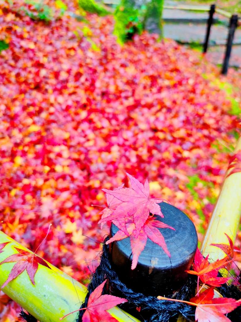 知曉秋天的一葉楓紅 | 楓葉與竹 | 紅葉地毯 | 夢幻景色 | 日本 | Japan | 巡日旅行攝 | RoundtripJp