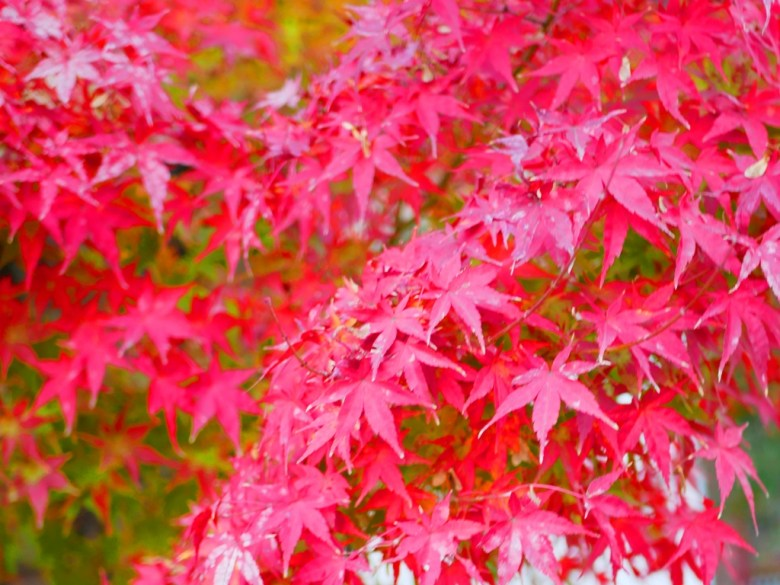 秋天的大自然美景 | 楓葉 | Maple | 日本 | Japan | 巡日旅行攝