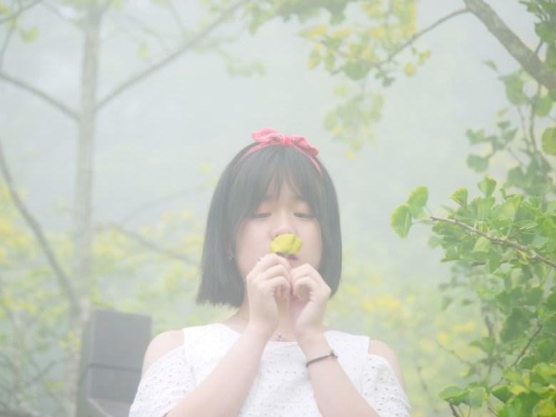 一葉之秋   掉落的銀杏葉   金黃澄澄   浪漫的形狀   網美   ルーグー   Lugu   Nantou   Taiwan   和風臺灣   巡日旅行攝   RoundtripJp