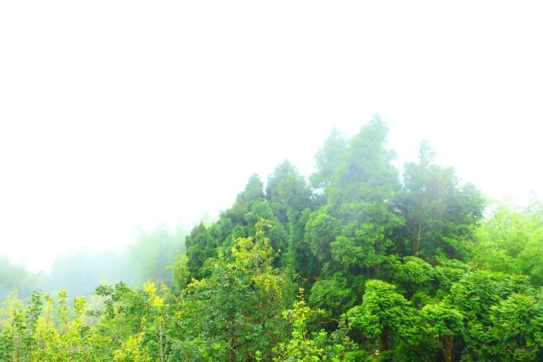 綠樹   銀杏   雲霧蔓延   台灣山林之美   銀杏森林   ルーグー   Lugu   Nantou   Taiwan   和風臺灣   巡日旅行攝   RoundtripJp