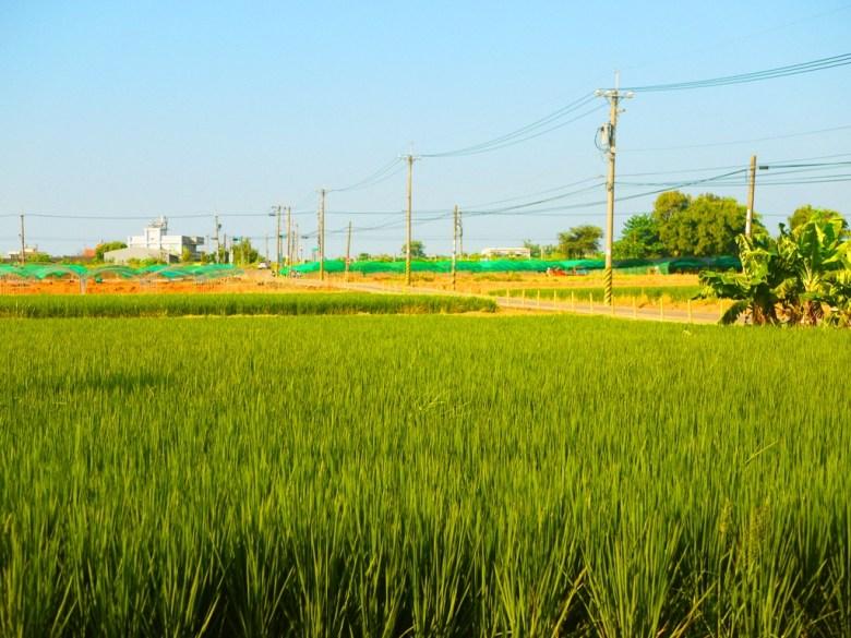 龍貓隧道無患子森林入口對面   鄉村風景   綠油油的稻田   Houli   Taichung   和風臺灣   巡日旅行攝   RoundtripJp