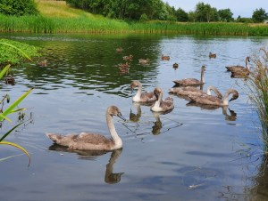 The Ugly Duckling and her Brothers, the cygnets of Bathgate