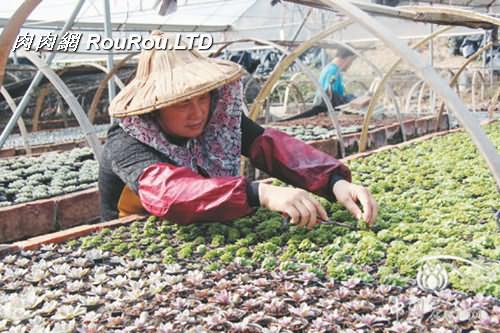 多肉植物市場(漳州)怎麼樣_多肉植物
