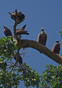 first vultures