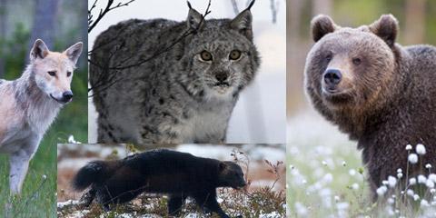 Status for de fire store rovdyrene i Norge
