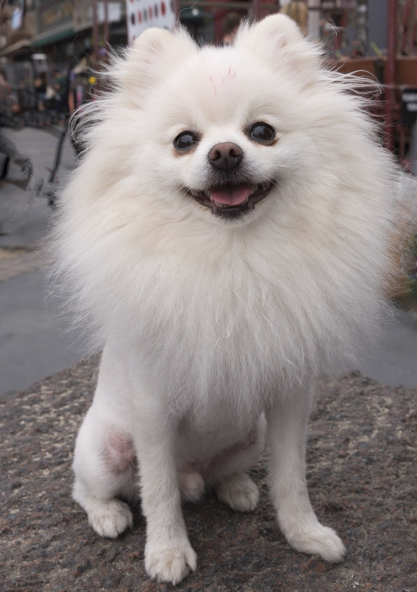 Pomeranian Lion : pomeranian, Pomeranian, Haircut, Styles, People, Rover.com