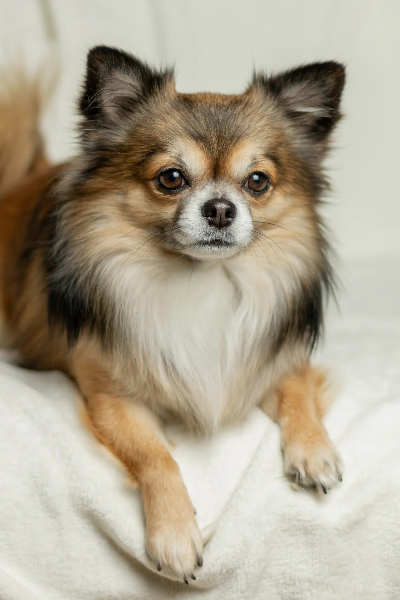 Lion Hair Cut For Dogs : Haired, Chihuahua, Cuts:, Guide, Grooming, Hairstyle