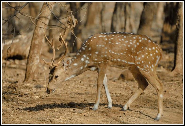 Deer at Gir Forest National Park