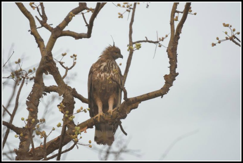 Eagle At Gir Forest