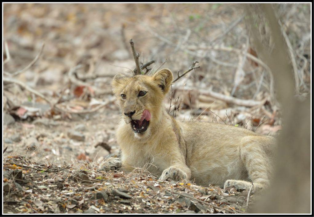 Gir Lion
