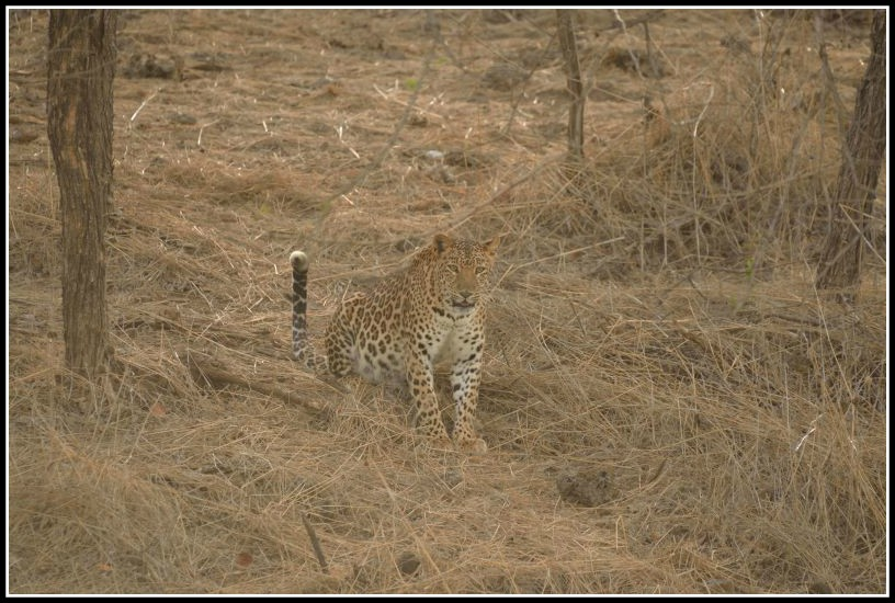 leopard at gir forest national park