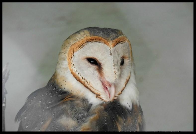 Owl at Bedini Bugyal