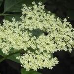 Beneficiile surprinzătoare a Socului (Sambucus nigra)