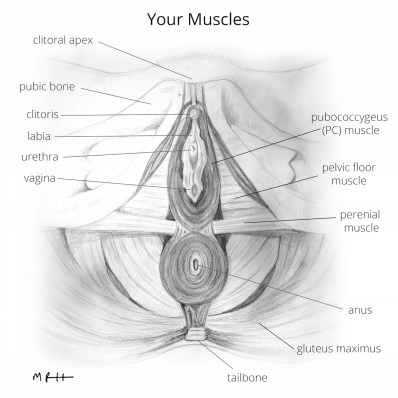 muscles illustration