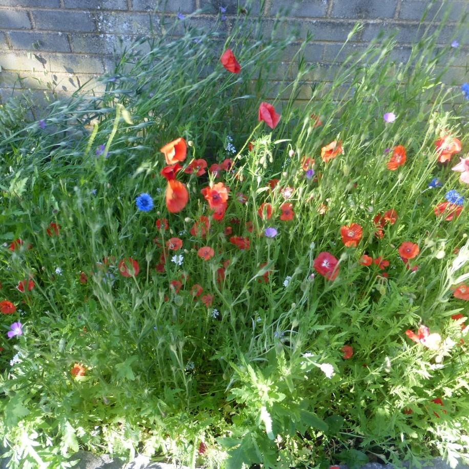 Wildflower border at Rowen Memorial Hall