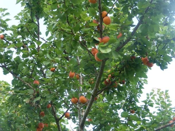 Apricots near Rowen