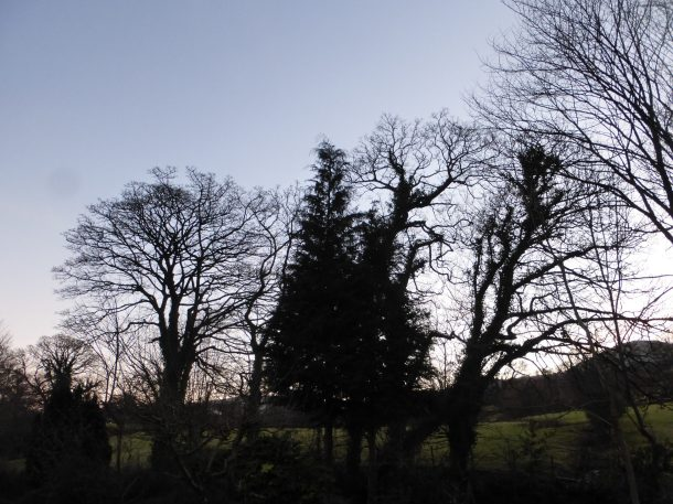 Five large sycamore trees near the Afon Ro before shaping