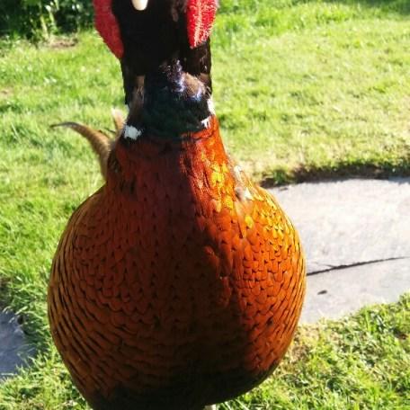Fabio the viisting pheasant
