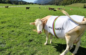 krowa w tęczowej koszulce