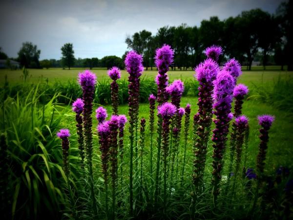 CarmelSummer15_PurpleTall
