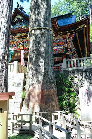 三峯神社, 埼玉県, 秩父, 御神木