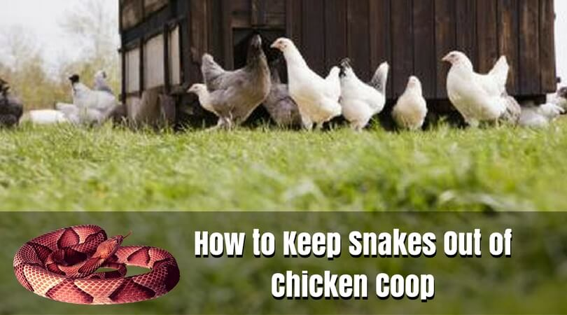 How to Keep Snakes Out of Chicken Coop