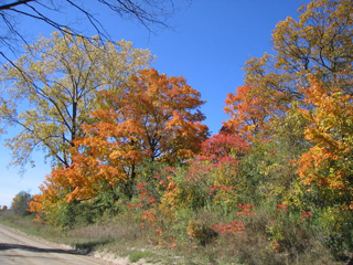 200 year old Heritage Maples on Forestell Road