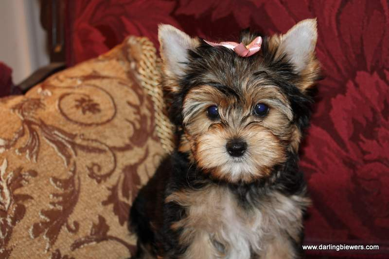 Yorkie Puppies for Sale  Parti Puppies for Sale  Biewer