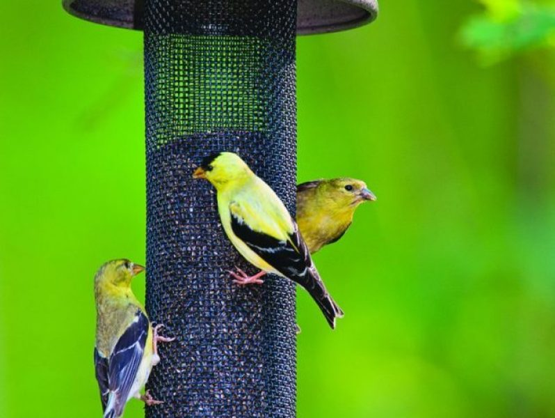 How to attract birds to your yard | Royal Examiner Rapid Home Designs Goldfinch on island home designs, medium home designs, long home designs, floodplain home designs, royal home designs, universal home designs, efficient home designs, strong home designs, custom home designs, safe home designs, lake home designs, bar home designs, white home designs, sater home designs, floating home designs, normal home designs, simple home designs, dramatic home designs, inexpensive home designs, smart home designs,