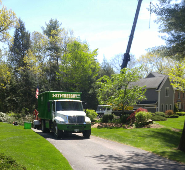 Tree removal in Boxford, MA due to Hemlock Woolly Adelgid