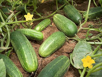 ARS_cucumber