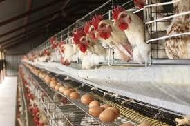 World Egg Day: Association to establish grains farm for poultry feeds