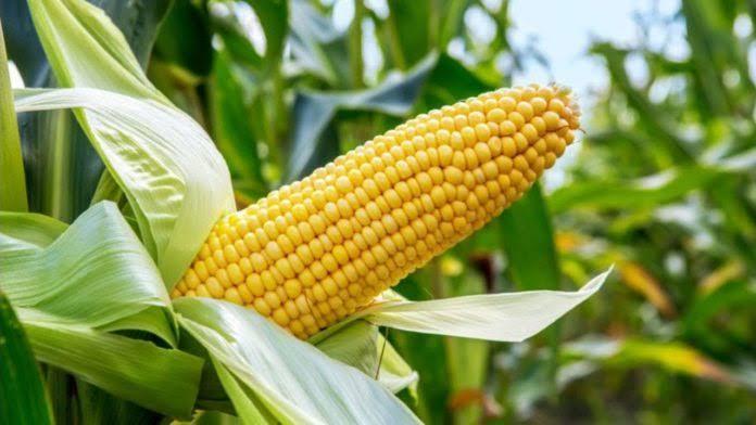 Agency partners ABU on genetically improved maize