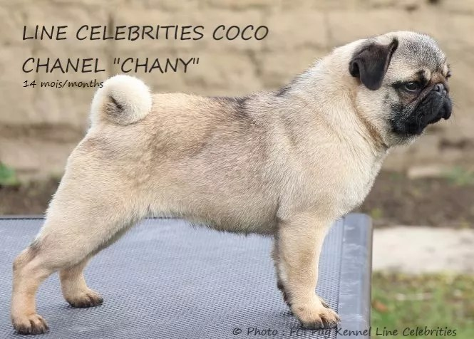 Photo du Carlin, Pug : LINE CELEBRITIES COCO CHANEL « CHANY » (CH Beauty Flowers Abervil × CH Beauty Flowers Grezy Nochi)