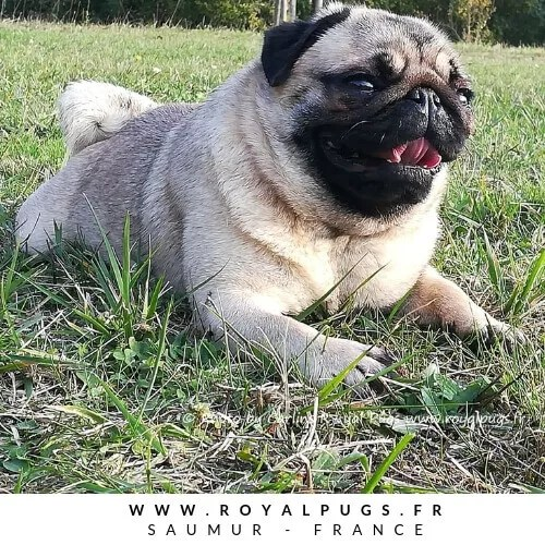 Bienvenue à l'élevage de carlin Royal As A Pug