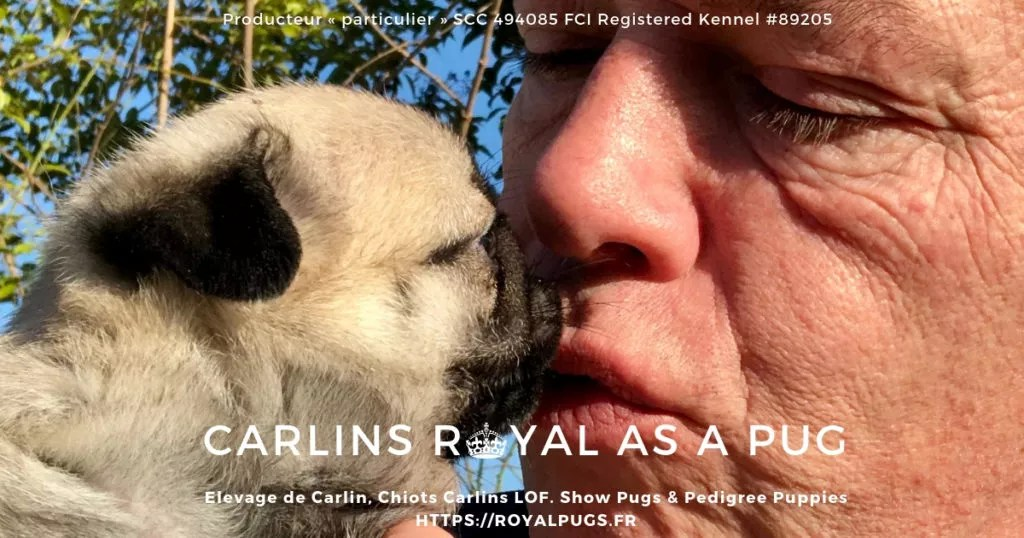 Carlins, Elevage de Carlin, Chiots Carlin à vendre -  Royal As A Pug - Pug Breeders ,Show Pugs and Pug Puppies for sale