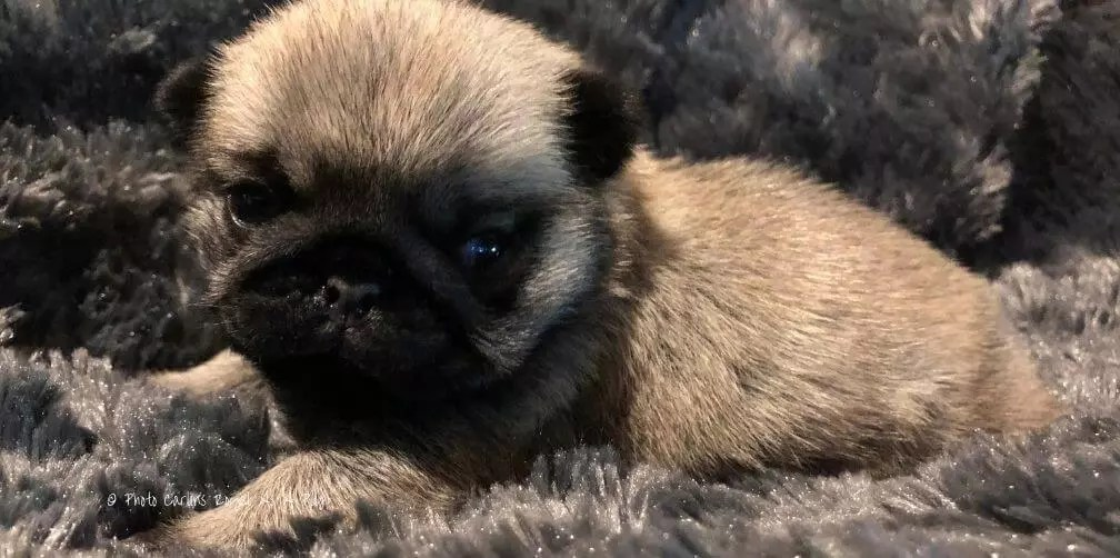 Chiot Carlin Pug Puppy