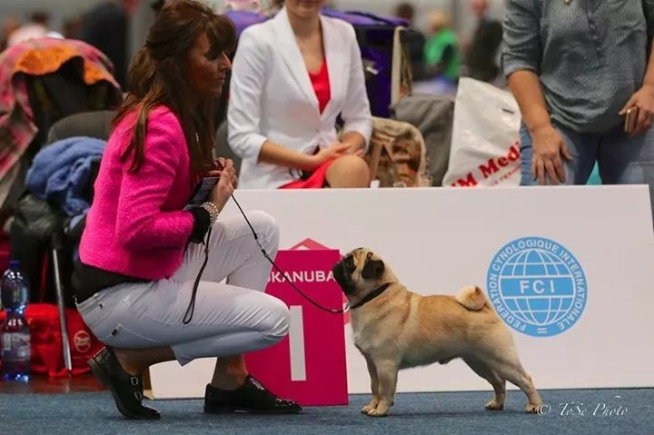 Pug Champion Zobear's about the Base Breeder/Owner Ms J Ashton © Photo The Pug Dog Club