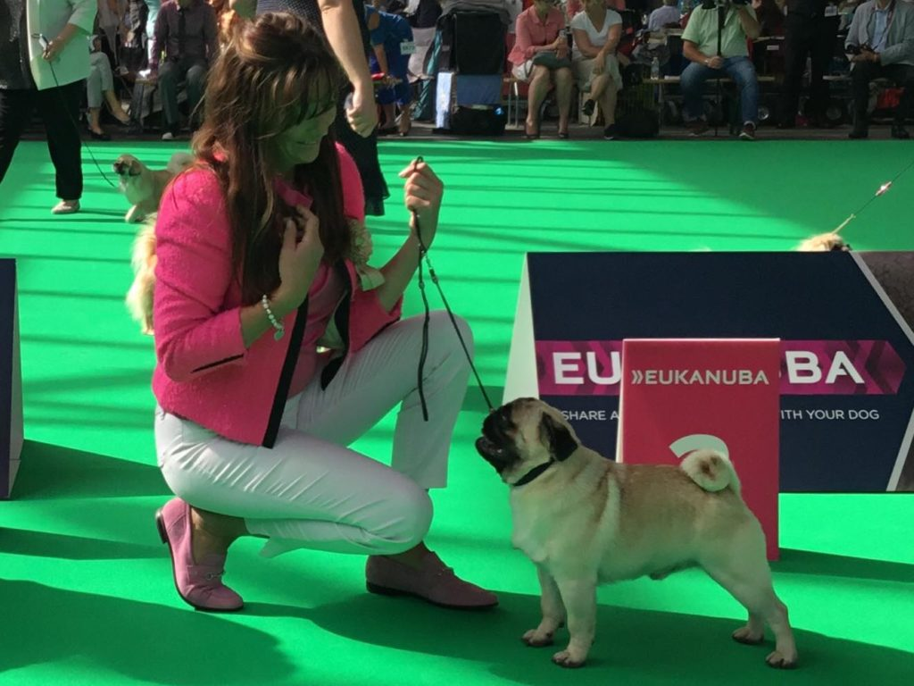 "Carlin, Pug : German Winner Dutch Junior Champion UK CH. ZOBEAR'S ABOUT THE BASE aka ""TRUMPET"" Eleveur/Breeder & Propriétaire/Owner : Ms J. Ashton"