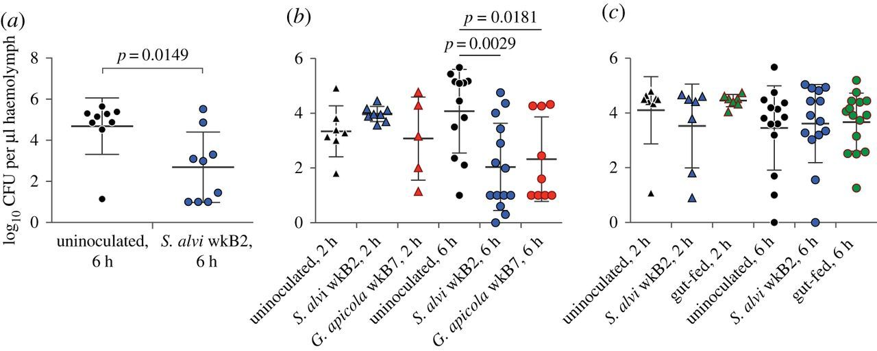 Immune system stimulation by the native gut microbiota of