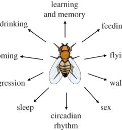 light heat action neural control of fruit fly behaviour fruit fly diagram label [ 1280 x 1105 Pixel ]