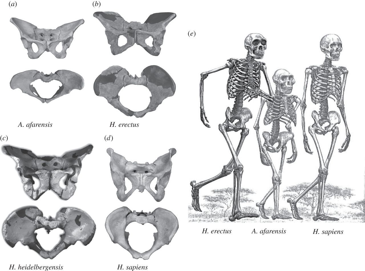 The Evolution Of The Human Pelvis Changing Adaptations To Bipedalism Obstetrics And