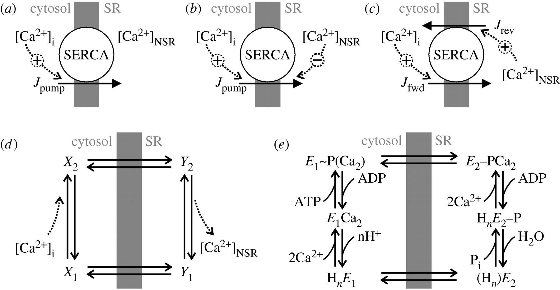 Modelling Sarcoplasmic Reticulum Calcium Atpase And Its