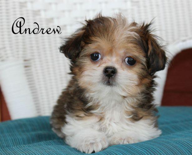 andrew-9-weeks-mi-ki-puppy-for-sale-colorado