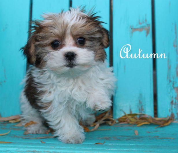 colorado_mi-ki_puppy_for_sale_autumn