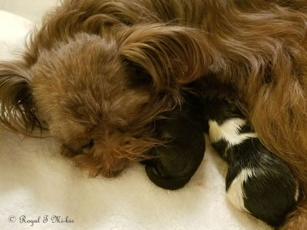 Royal-T-Mi-kis_Chocolate_Mi-ki_puppy_birth_Colorado