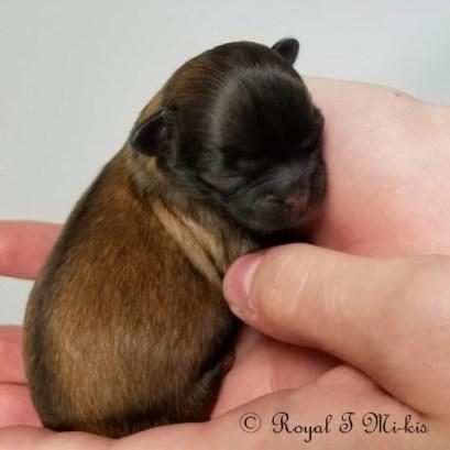 Isadora_Mi-ki_Puppy_20180918_Royal_T_Mi-kis-1c